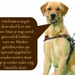 Blinden-geleidehond-Raf.007
